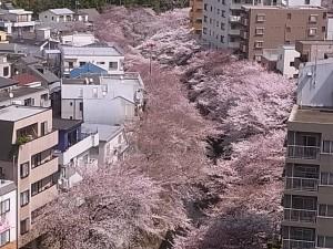 神田川の桜を見ながら3分間のフリートーク!