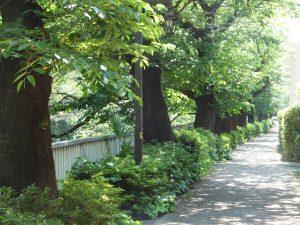 早大生の「哲学の道」(神田川)