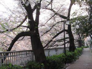 早稲田さくらまつり(神田川)