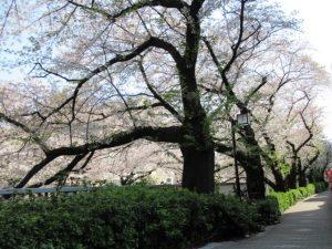 神田川の遊歩道を散歩しました。